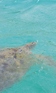 Large giant turtles inhabit the shallow waters