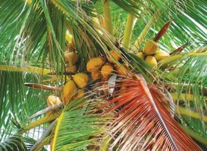 Coconuts grow in abundance but transporting them to the mainland is difficult