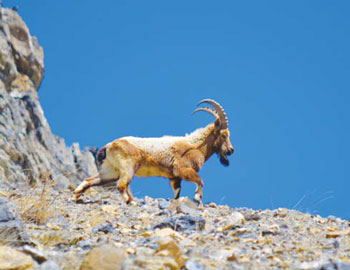The Siberian Ibex is a frequent visitor to the village