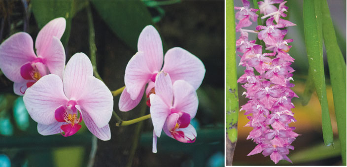 Orchids blooming at Bhalukpong